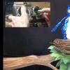 Exploding Bird for Shrek the Musical